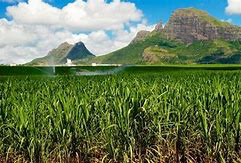 The-resilience-of-the-sugar-industry